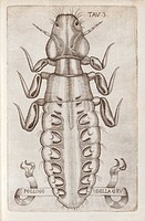 Crane louse. 17th_century artwork of a Pediculus louse found on a bird. The Italian across bottom refers to its host, the crane. This artwork is plate...