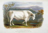 White Forest Cattle. 19th_century artwork of a bull of the White Forest Cattle, a breed of the domesticated cow Bos taurus. This artwork is from the 2...