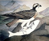 Osprey Pandion haliaetus. Plate 15 from ´Watercolour drawings of British Animals´ 1831_1841 by Scottish naturalist William MacGillivray.