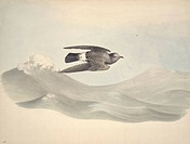European storm petrel Hydrobates pleagicus. Plate 197 from ´Watercolour drawings of British Animals´ 1831_1841 by Scottish naturalist William MacGilli...