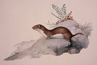 Least weasel Mustela nivalis. This artwork is Plate 205 from ´Collection of Watercolour Drawings of British Vertebrates´, published between 1830 and 1...