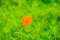 yellow cosmos flower