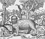 Captive sloth. 16th_century artwork of a large captive animal called a ´haut´, said to live in the trees on air. This animal has been identified with ...