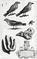 Natural history specimens. 18th_century artwork of periwinkle shells top left, butcher birds across top, a brambling bird upper centre, a mutant quail...