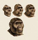Paranthropus boisei anatomy. Artwork showing a reconstruction of the head of Paranthropus boisei previously Australopithecus bosei, based on skull OH5...