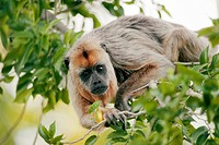 Howler monkey. Female howler monkey Aloutta sp. in a tree. Howler monkeys are among the largest group of New World monkeys. They are native to South a...