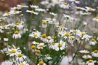 Kamillenblüten _ eine vielverwendete Heilpflanze