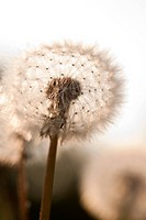 Dandelion close_up