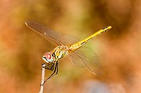 Dragonfly  sympetrum sp