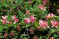 bush dogberry_5