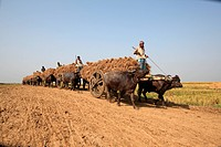 Farmers are collecting paddy from paddy field by using bull carts December 17, 2009 Jessore, Bangladesh