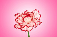 Red carnation against gradient