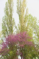 Redbud tree in bloom