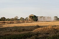 Harvesting wheat with combine harvester