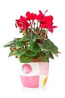 red cyclamen flower in pot