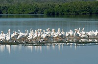 AMERICAN WHITE PELICANS PELECANUS ERYTHRORHYNCHOS IN J. N. DING DARLING NATIONAL WILDLIFE REFIGE ON SANIBEL ISLAND FLORIDA