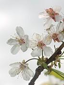 Cherry blossoms Prunus avium.
