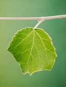White Poplar leaf Populus alba, upper side