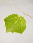 White Poplar leaf Populus alba, upper side.