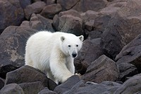 Norway , Spitzbergern , Svalbard , Polar Bear  Ursus maritimus  on the ground