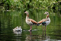 Egyptian goose (Alopochen aegyptiacus), adults with two chicks, Bavaria, Germany, Europe