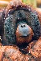 Mature Orangutan Pongo Pygmaeus