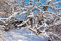 aple trees in winter garden
