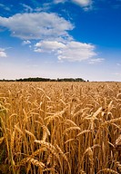 A landscape photo of a mature wheat crop in a fiield in Northern Alabama with blue sky and white puffy clouds