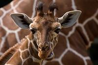 Giraffenjunges vor seiner Mutter