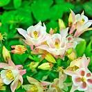 Akelei zart rosa/ weiss