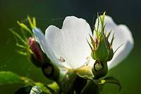 frühlingsblühende Anemone mit weissen Blütenblättern