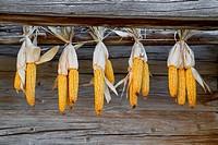 Maiskolben zum Trocknen aufgehängt