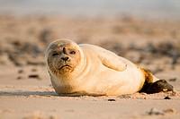Junger Seehund an Staupe PD_Virus erkrankt