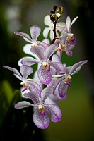 Orchids. Image taken at Orchid Garden, Kuching, Sarawak, Malaysia.