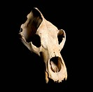 Real animal bear scull