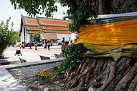 Wat Phra Mahathat Vihan, biggest bouddhist temple of Nakhon Si Thammarat and a sacred tree, Thailand.