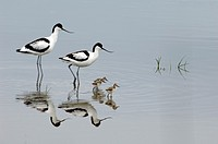 Family or Couple of Avocets & Chicks Etang de Vaccarès Camargue France