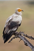 Egyptian Vulture Neophron percnopterus sitting on branch, Masai Mara, Kenya
