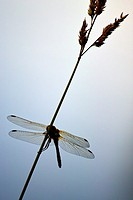 Dragon fly on stalk of grass, silhouette