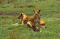 A pair of female LIONS Panthera Leo rest during the heat of the day _ NGORONGORO CRATER, TANZANIA