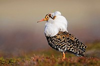 ruff at a lek  Varanger Peninsula, Norway