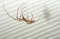 Long-jawed Orb Weaver Spider Tetragnatha elongata at Corolla, NC USA Outer Banks