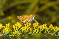 Carolina Roadside-Skipper Amblyscirtes carolina Feeding on Goldenrod Solidago odora at Corolla, NC USA Outer Banks