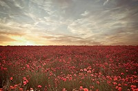 Field of poppies under dramatic sky