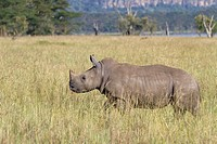 young White Rhinoceros Ceratotherium simum in savannah, Lake Nakuru National Park, Kenya