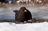 Common blackbird Turdus merula male comes to drink at a frozen stream - Bavaria/Germany