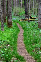 Path through a wood