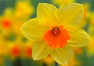Close_up of daffodil with orange trumpet in garden