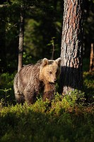 young brown bear on in a forest North East Finland