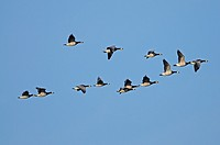 Barnacle geese in winter range Lower River Rhein Germany